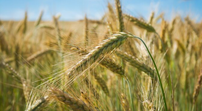 A Grain of Wheat (Homily for Lent 5)
